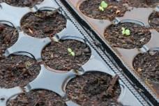 Lístkové zeleniny klíčia v multiplatách