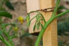 Paradajka pred kvitnutím