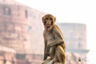 Macaco em frente ao Forte de Agra.