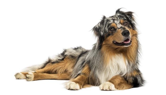 10 races de chien prfres  Pratiquech