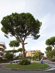 Il pino di largo Solera