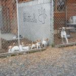 Russell Terrier Parson Russell Terrier Pratsals Kennels Criadero Pratsals Cachorros Ecuador