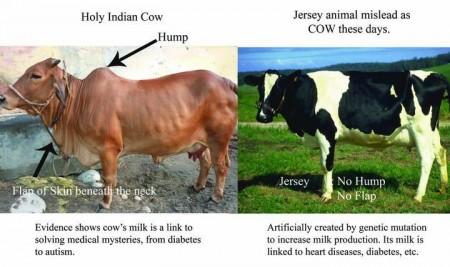 देशी गाय