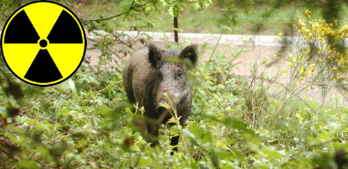 radioaktive-wildschweine