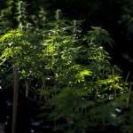 Marihuana (3)
