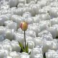 gelbe tulpe zwischen weißen tulpen - The 7 pillars of mindfulness - #4 Trust