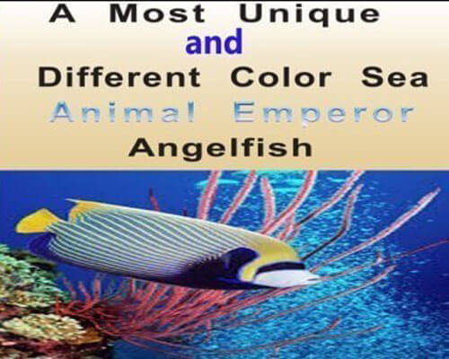 Sea Animal Emperor Angelfish
