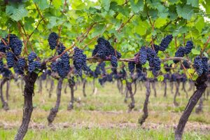 FRUITS RIPENING ON VINE TREES IN A VINEYARD