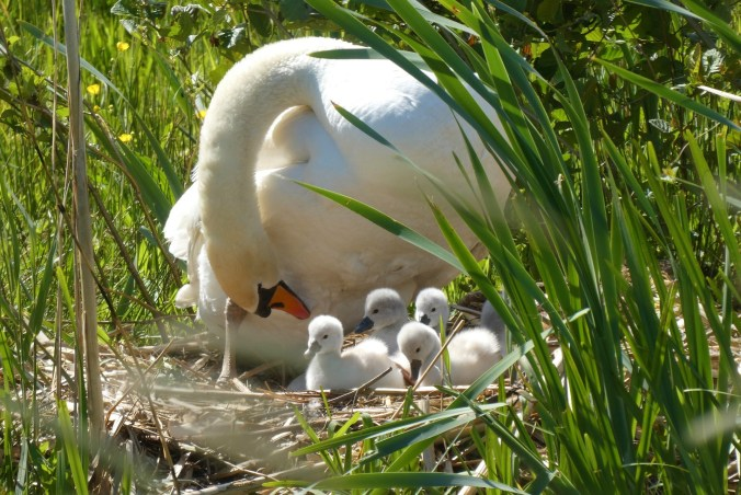 God'scare for His children shown through a visual of a mother swan taking care of her young.