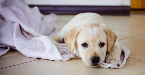 Golden Retriever Puppy Of 7 Weeks Old