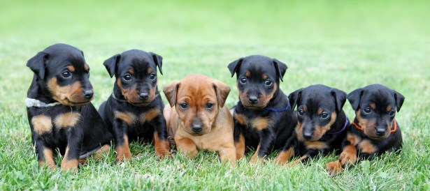 The Miniature Pinscher puppies, 1 months old Prepare For Getting A Puppy