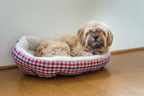 Beautiful milk chocolate havanese dog is lying in dog bad. relaxed dog