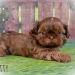 Imperial Shih Tzu Female Puppy For Sale In Virginia Patty