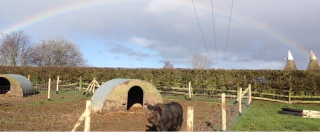 rainbowpigs