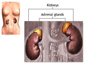 adrenal_gland_anatomy
