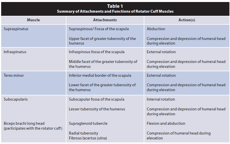 Attachments and functions of rotator cuff muscles