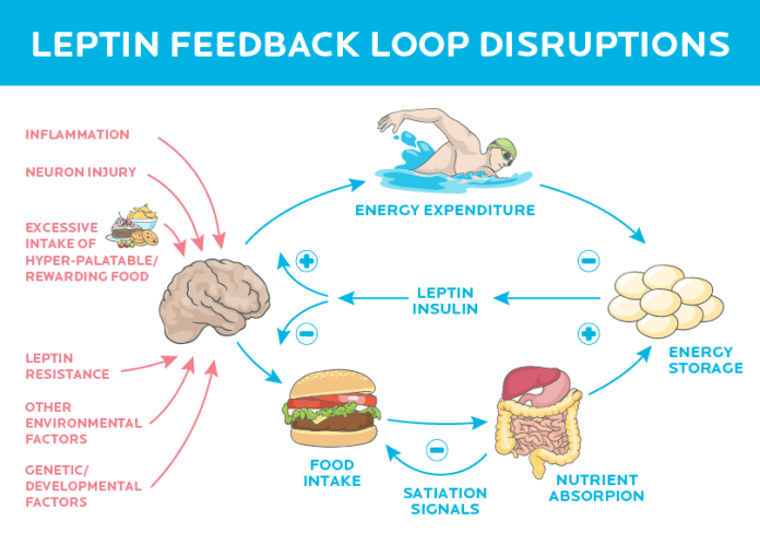 precision-nutrition-brain-tells-you-to-eat-leptin-2