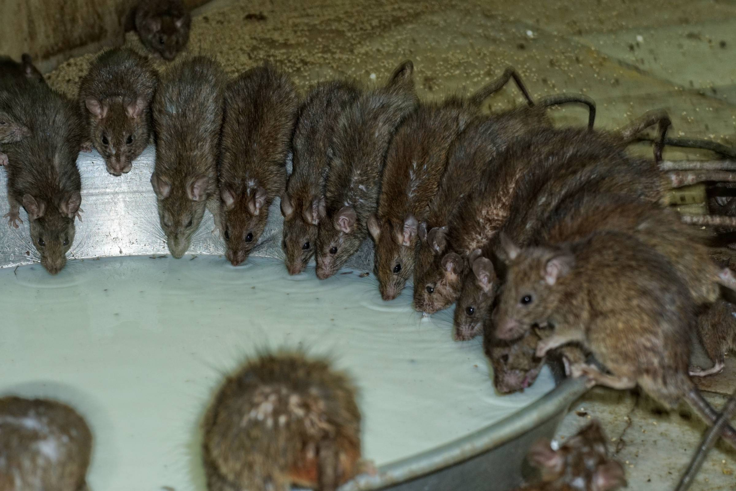 Deadly New World Hantavirus Has Arrived in the USA — Precision ...