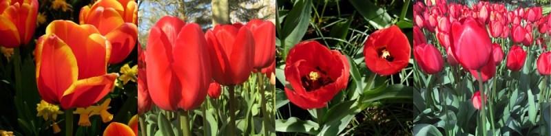 Close-up nas tulipas