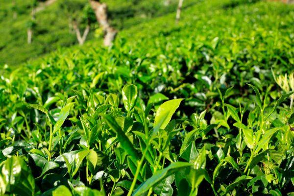tea plantasion