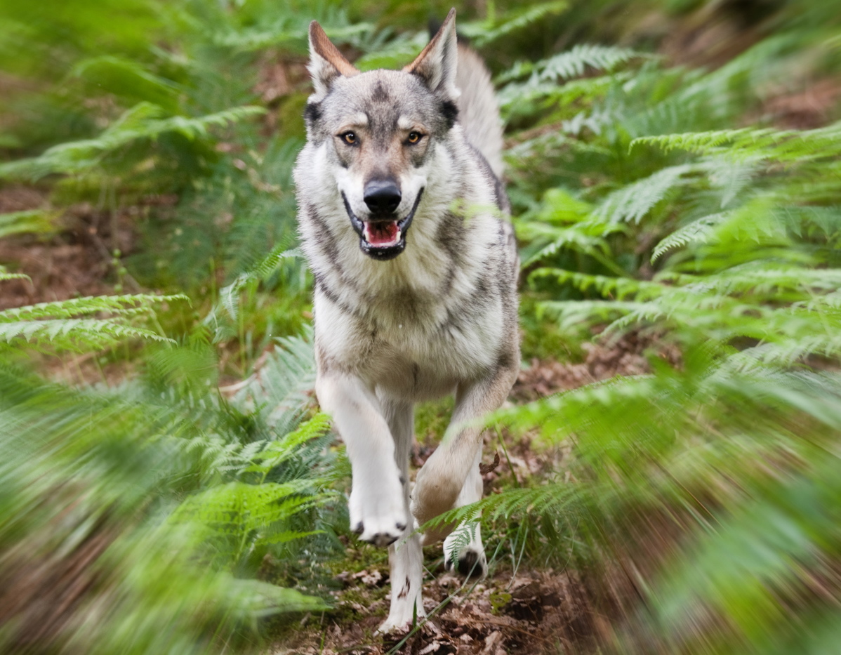 Walking with Wolves  Predator Experience  Cumbria