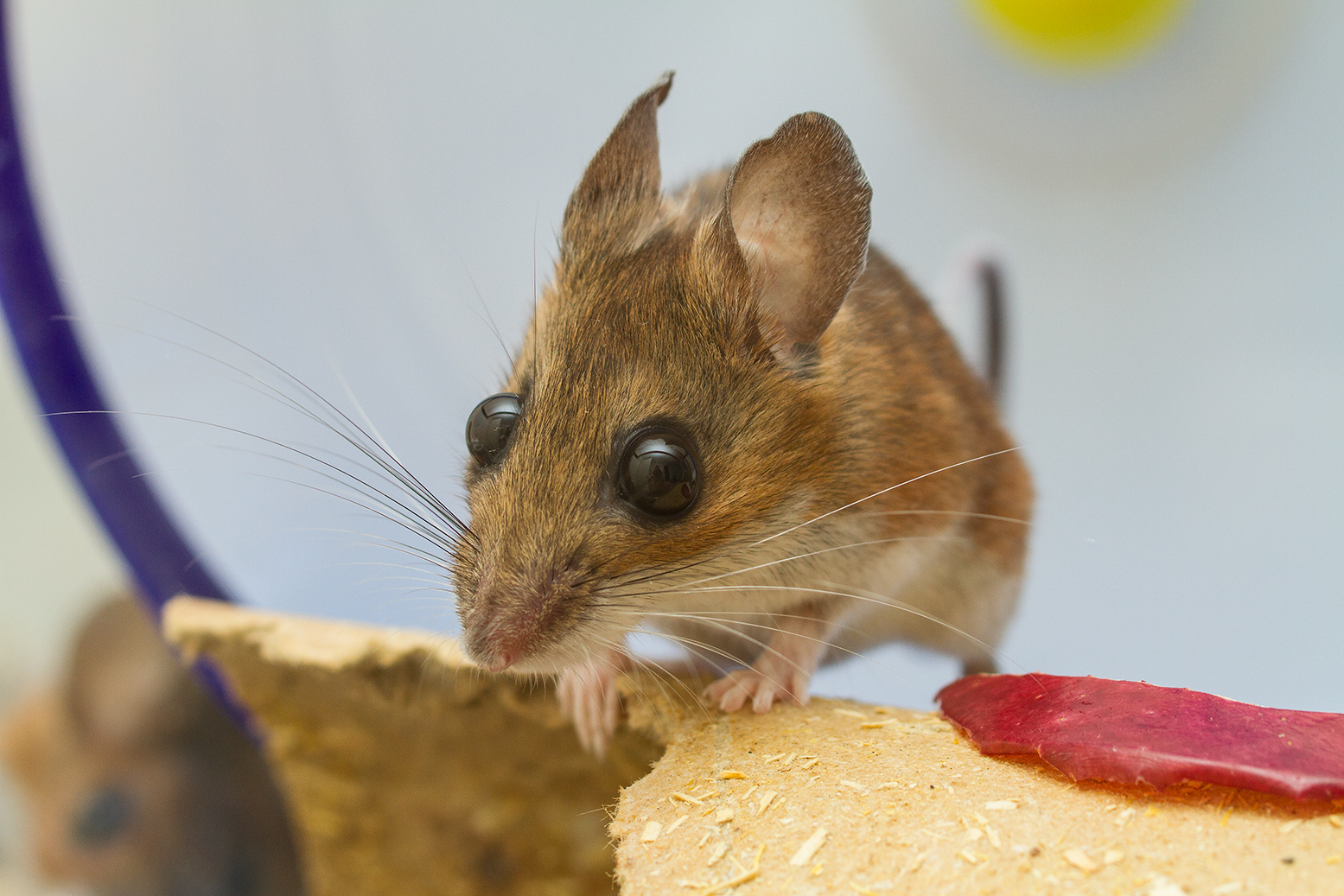Deer Mouse/White-Foot Mouse