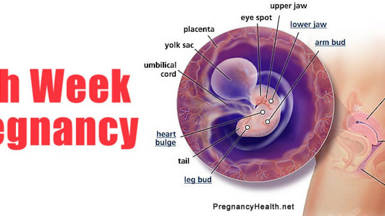 hight resolution of 4 week pregnant belly diagram