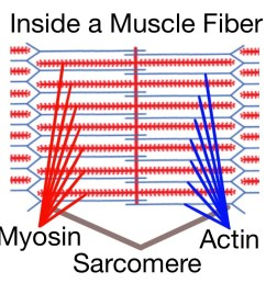 soft tissue therapy inside a muscle fiber the sarcomere home of the actin [ 1024 x 768 Pixel ]