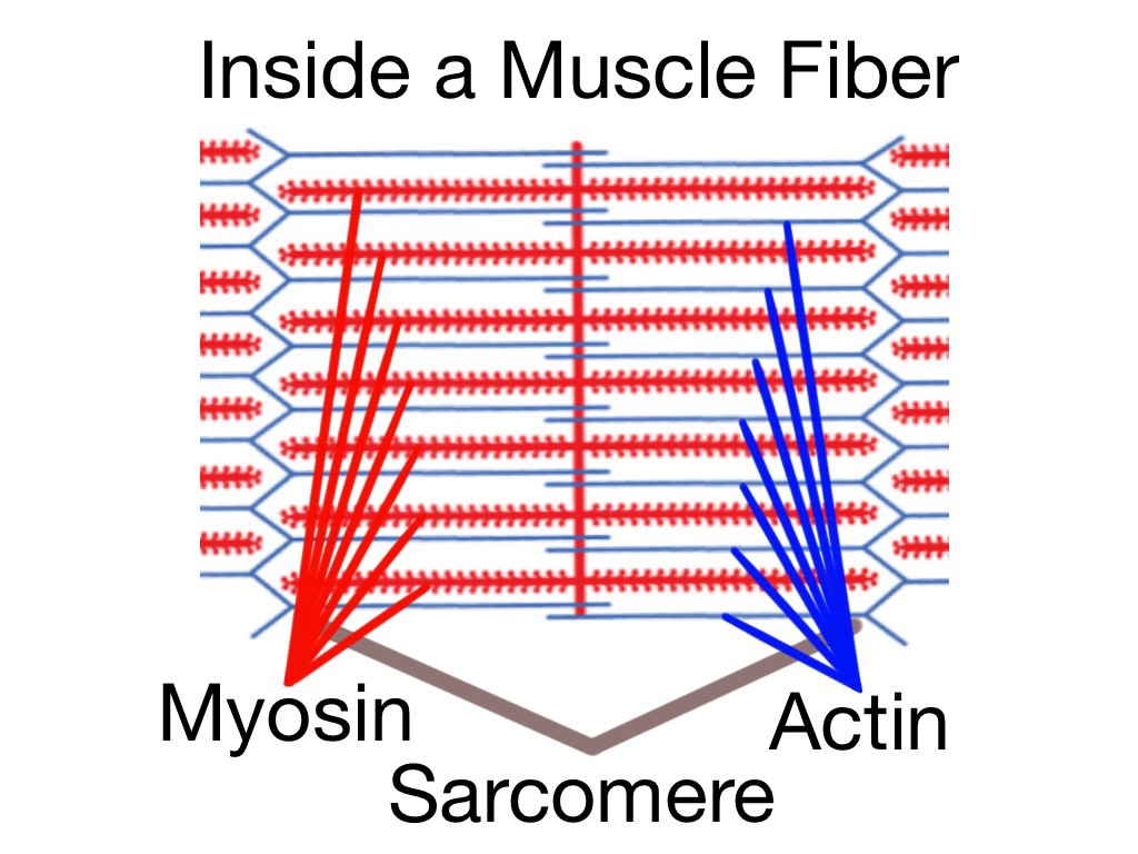 hight resolution of soft tissue therapy inside a muscle fiber the sarcomere home of the actin