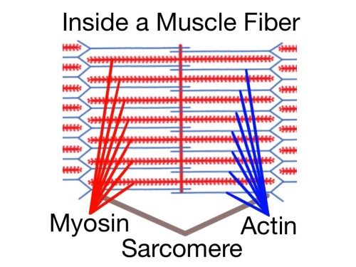 small resolution of soft tissue therapy inside a muscle fiber the sarcomere home of the actin