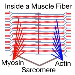 Muscle Fiber Diagram Motte And Bailey Castle Labeled Soft Tissue Therapy Explained Prehab Exercises