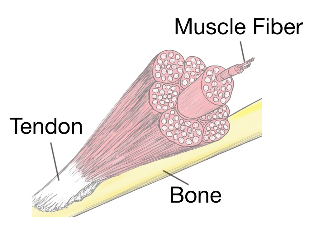 muscle fiber diagram sangamo electric meter wiring soft tissue therapy explained prehab exercises