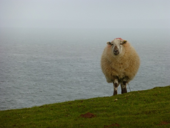 Sheeps everywhere - sometimes very close to the cliffs