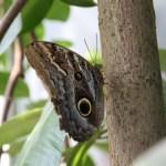 Tropische_Schmetterlinge_04