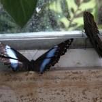 Tropische_Schmetterlinge_18
