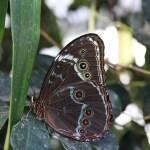 Tropische_Schmetterlinge_34