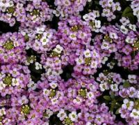 Alyssum Royal Carpet | Flowers | Alyssum | Premier Seeds ...