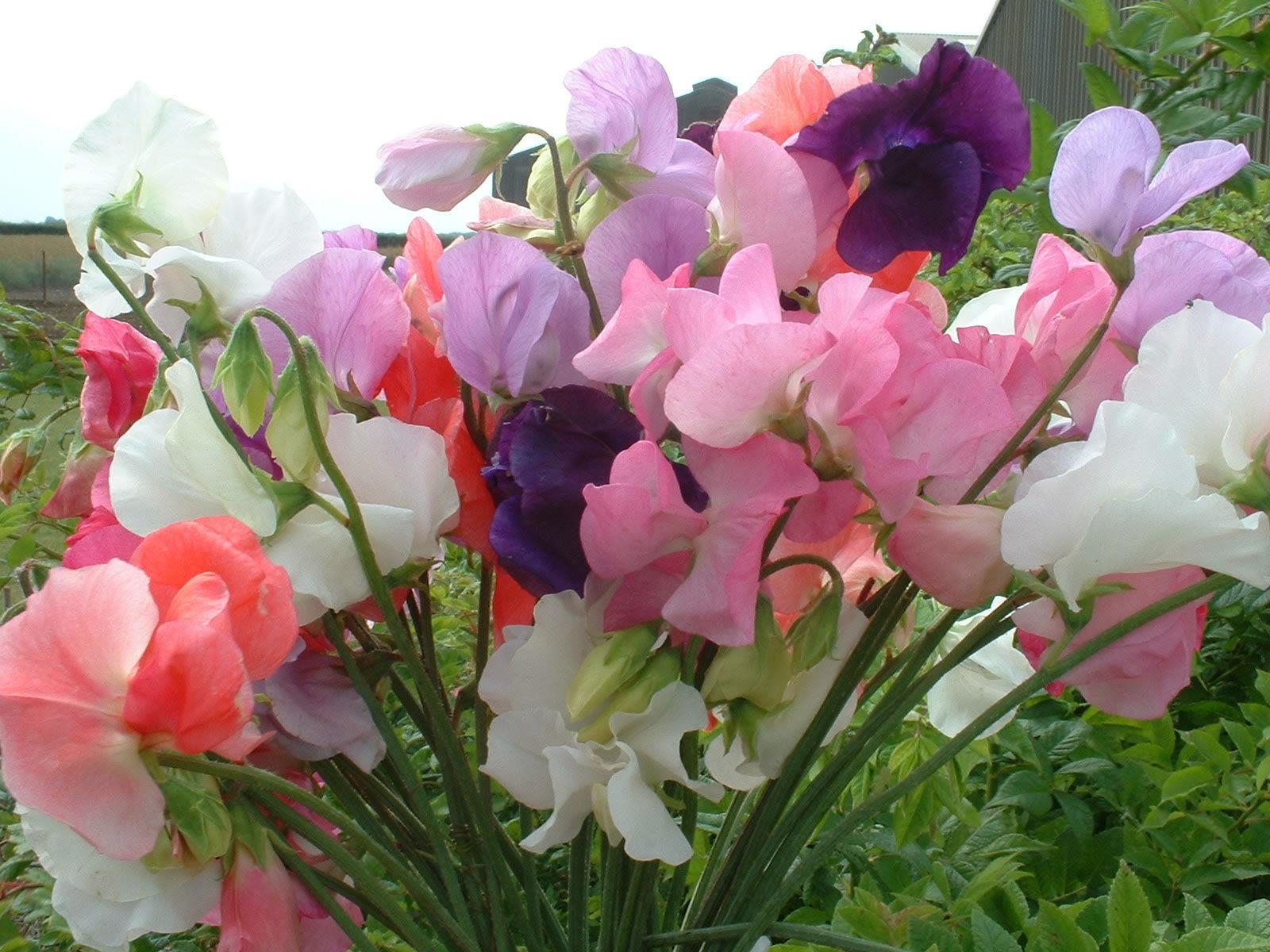Organic SWEET PEA MAMMOTH MIX Organic Flower Premier