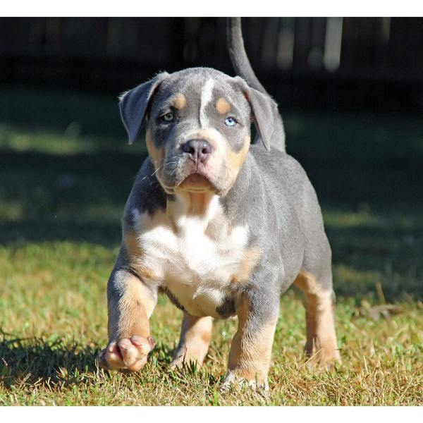 Healthy American Pitbull Puppy