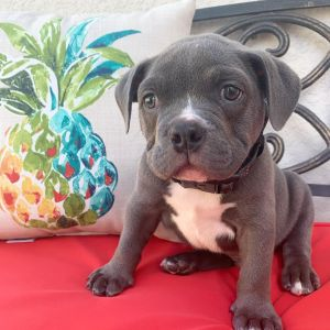 "<span class=""hpt_headertitle"">Male Pitbull Puppies For Sale</span>, American Pitbull Breeder"