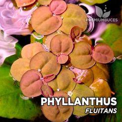 Phyllantus Fluitans planta de acuario