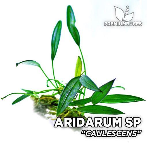 Aridarum Caulescens planta de acuario