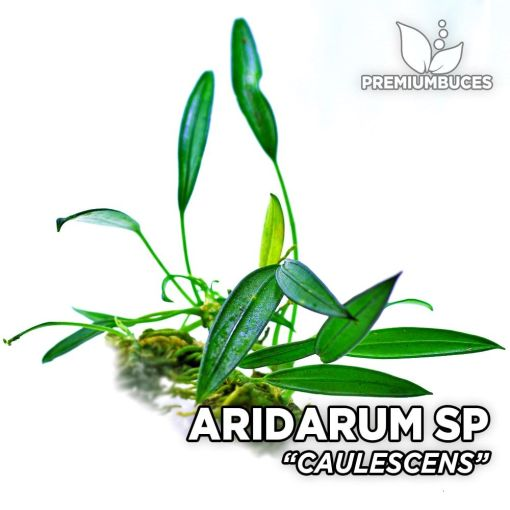 Aridarum Caulescens-Aquariumanlage