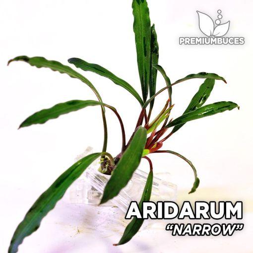 Aridarum Narrow planta de acuario