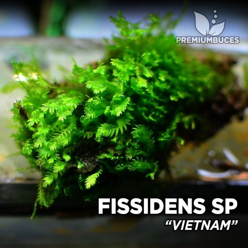 Fissidens Vietnam musgo de acuario