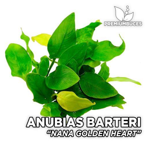 Anubias Nana Golden Heart planta de acuario