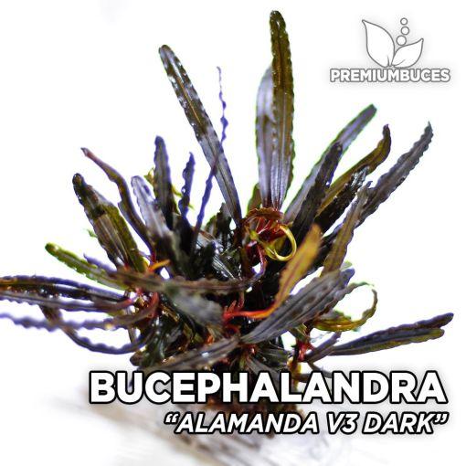 Bucephalandra Alamanda v3 Dark planta de acuario