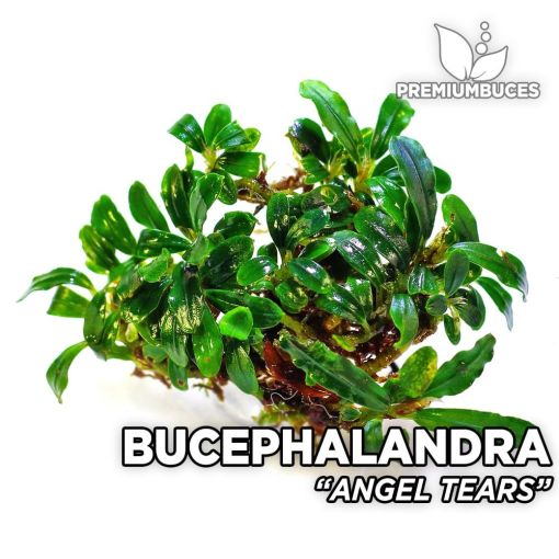 Bucephalandra Angel Tears planta de acuario