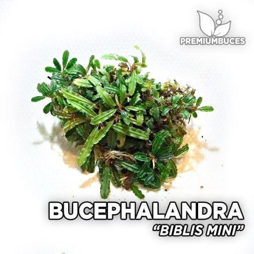 Bucephalandra Biblis Mini planta de acuario