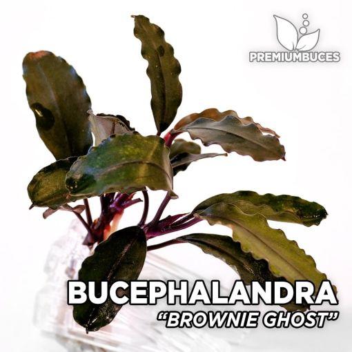 Bucephalandra Brownie Ghost planta de acuario